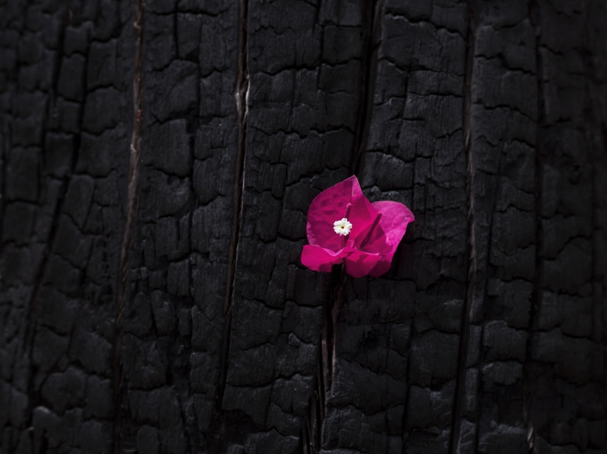 Pink flower on a burnt tree close up